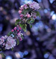 Apple blossom by Pamba