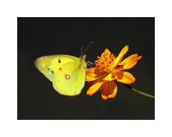 Clouded Yellow by Jamie-MacArthur