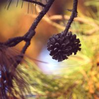 Pinecone by incolor16