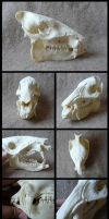 Collared Peccary Skull by CabinetCuriosities