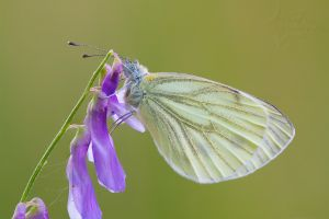 Green-veined White by SzymonMic
