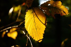 the last autumn leaf by bandinchen