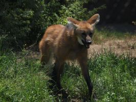 Tired maned wolf by photographyflower