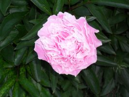 Over Exposed Peony Stock by Solace-Grace