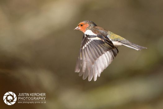 Chaffinch in Flight. by Neutron2K
