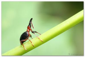 Sweet Potato Weevil by melvynyeo