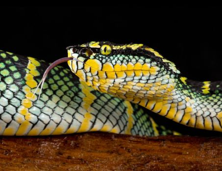 Waglers pit viper by AngiWallace