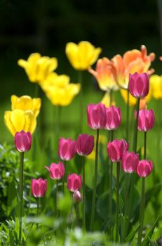 Tulip - I by salman-khan