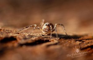 Baby Harvestman by TheFunnySpider