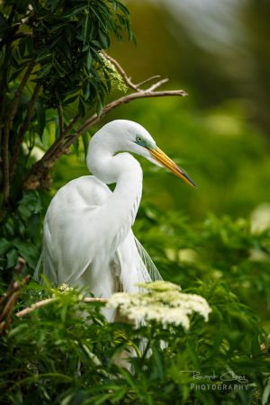 .:Great Egret:. by *RHCheng