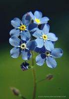 forget-me-not by cloe-patra