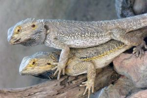 Stackable: Bearded Dragons by Zeiphex