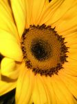 Sunflower by Here-it-is