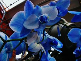 Blue Mystique Orchid. II by BabsxStock