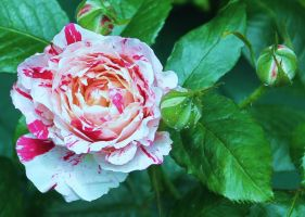 White and red rose by Vincent-Malcolm
