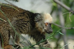 white fronted 8 by lemur2003