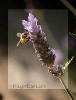 Bee on Lavender by kayaksailor