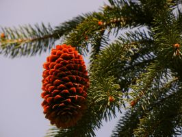 Pinecone.. by ANDROXA