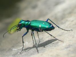Tiger Beetle 2. by buckobeck