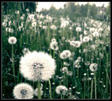 Dandelions by Skycode