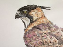Ornate Hawk-Eagle by Cailey5586