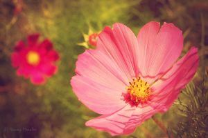 Cosmos in soft colours by lori80