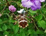 silver garden spider by crystalbreath81