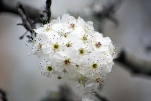 Flowering Pear, I Think.... by justanewb42