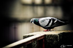 Curious Pigeon by lordmezry