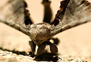 Sphinx Moth 2 by Meddling-With-Nature