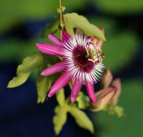 Passion flower by no1hoole