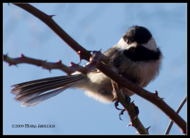 Chickadee in the Afternoon by Mogrianne