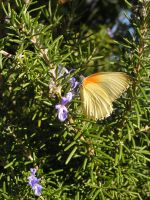 Rosemary and Butterfly by jellybush