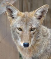 AlZ Aug28: Coyote 2 by FamilyCanidae