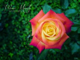 Rose by PMinelly