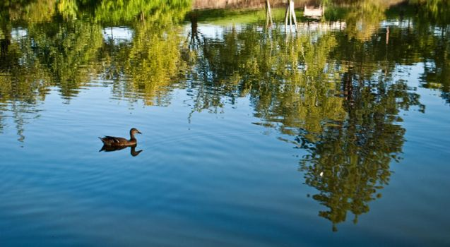 Duck in The Water by m1ndb3nd3r