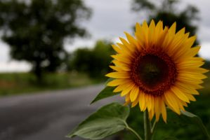 sunflower - road by Ketike