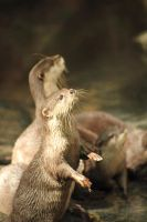 Small-clawed Otters by crispglo