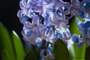 ....Hyacinth.... by BlackDogBarnyard