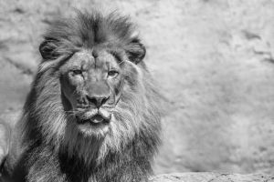 Lion by DuffyGraham