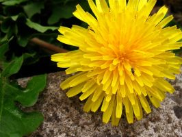 Yellow Dandelion by zoinkscameron