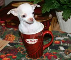 Coffee Cup Chihuahua by Dare2differ