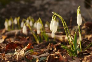 Snowdrop #2 by perost