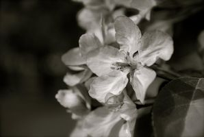 Chokecherry flower in black and white by MNgreen