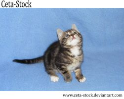 Kitten 12 by Ceta-Stock