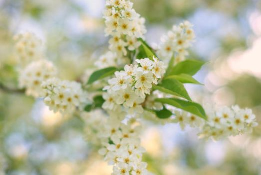 Bird Cherry by fastidious-cat
