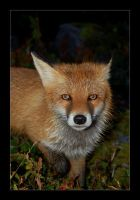 The Fox by Seffis