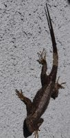 Dark Western Fence Lizard by photographyflower