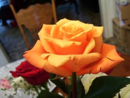 orange rose 5 by turtledove-stock