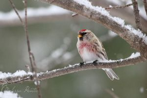Winter Redpoll by mydigitalmind